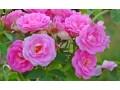 panineer-rose-small-5
