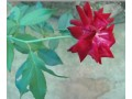 panineer-rose-small-3