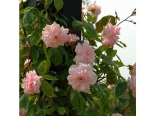 Panineer rose