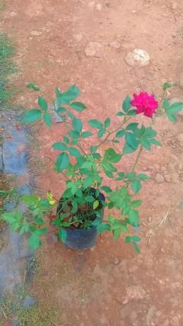 panineer-rose-big-4
