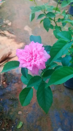 panineer-rose-big-2