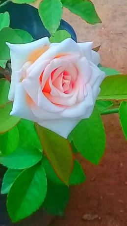 panineer-rose-big-6
