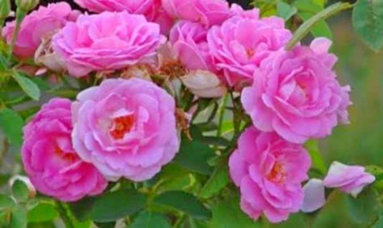 panineer-rose-big-5
