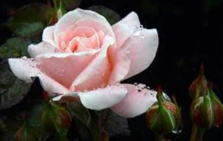 panineer-rose-big-7
