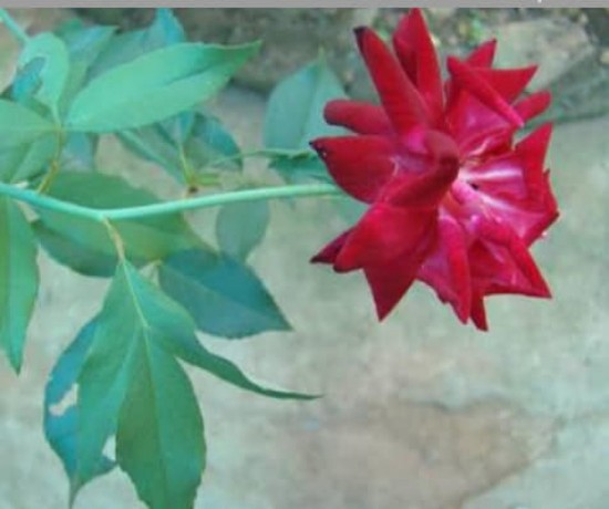 panineer-rose-big-3