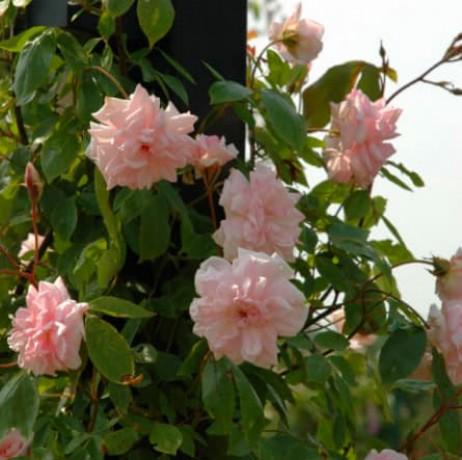 panineer-rose-big-0
