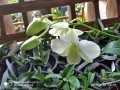 blooming-dendrobium-small-1