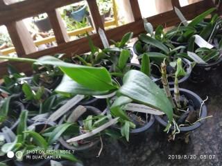 Blooming Dendrobium