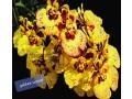 tolumnias-with-buds-small-6