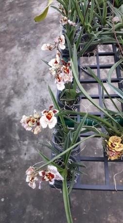 tolumnias-with-buds-big-1