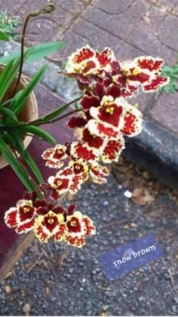 tolumnias-with-buds-big-5