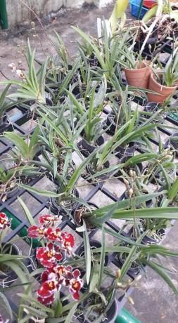 tolumnias-with-buds-big-8