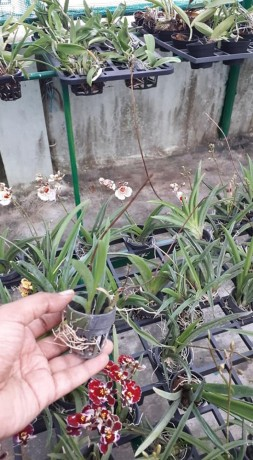 tolumnias-with-buds-big-4